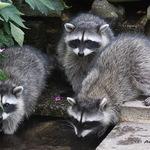 Triplet Baby Raccoons 2008