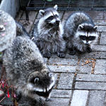 Triplet Baby Raccoons & Mama