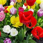 Tulip- Glory