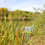 Verde River Cattails