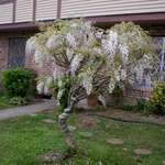 Wisteria Tree