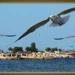 Seagulls over Tampa Bay