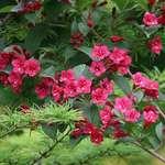 Weigela Flowers & Larch Boughs