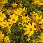 Wetland Sunflowers