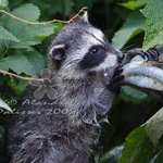 What is this? - Baby Raccoon Explores