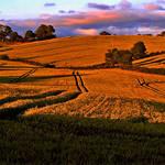 Wheatfields of Co Down