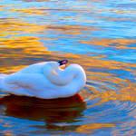 White swan 7