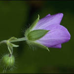 Wild Geranium
