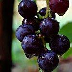 Wild Purple Grapes