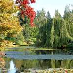 Trees & Pond -Weeping Willow and Maple