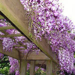 Wisteria Trellis 2