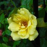 Yellow Climbing Rose