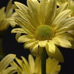 Yellow Daisey