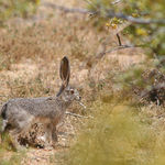 Young Desert Jack Rabbit