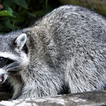 Young Raccoon (wild) eating